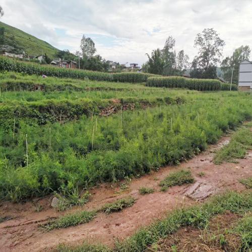 |大天冬种子多少钱|云南新天门冬种植技术资料(附图)