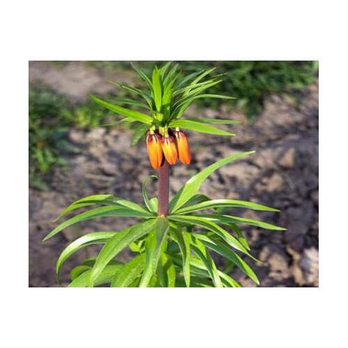 今年贝母的价格怎么样?丰产产种植技术有哪些?
