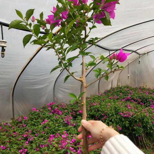 三角梅小苗价格?(附部分地区价格)养护过程中为什么会出现叶子掉落的现象?