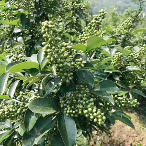 产地云南花椒种植的方法及注意事项