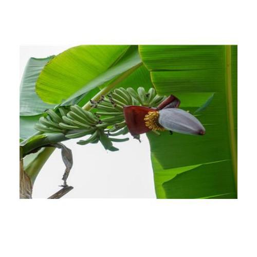 芭蕉树成什么样子?云南芭蕉树种植赚钱吗?