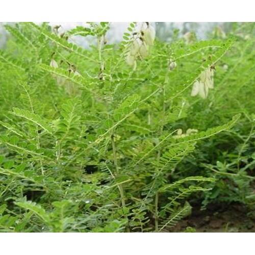 黄芪庭院种植10种常见花卉?种植药材有哪些品种