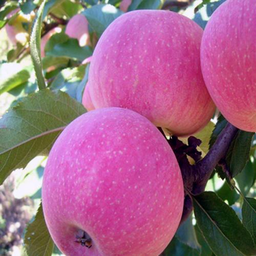 昭通苹果树苗多少钱一棵价格?高产昭通苹果一般栽植后几年结果?
