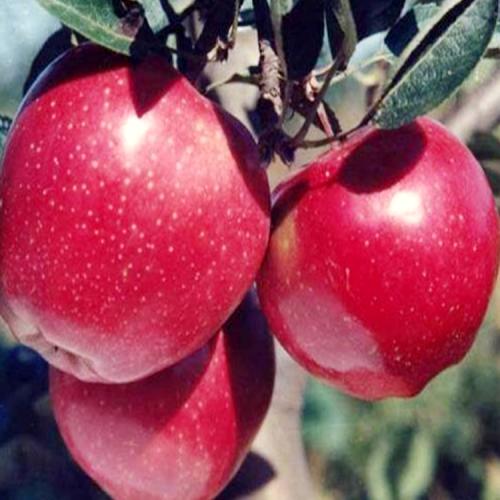 云南丑苹果树苗和普通苹果区别是什么?产地哪里出名?