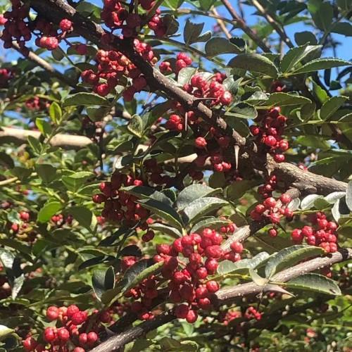 云南贵州四川花椒树*种植技术,最佳花椒种植季节?每亩地多少花椒苗适合