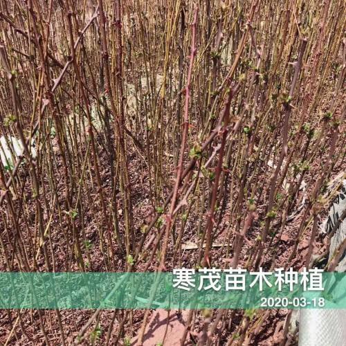 现在花椒苗价钱怎么样?多少钱一棵?云南哪些地区种植?一亩栽多少棵?