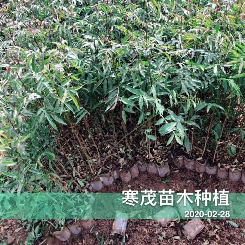 2020贵州云南广西\青花椒价格最新行情如何?