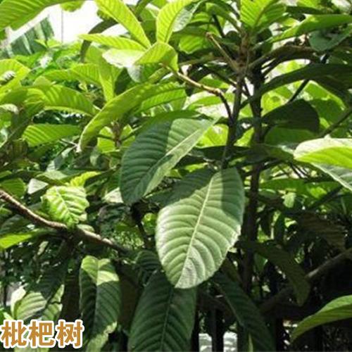 云南枇杷树的种植技术_红河枇杷树苗供应商微信
