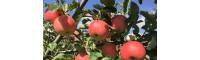 我想买苹果树苗、苹果树苗哪里有卖、苹果树苗价格多少