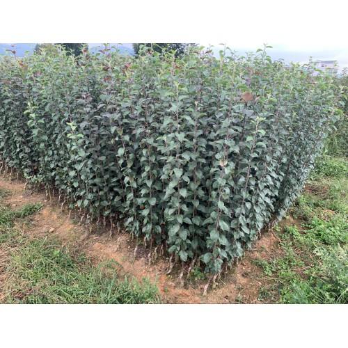 苹果树苗哪里有卖、苹果树苗价格是多少?