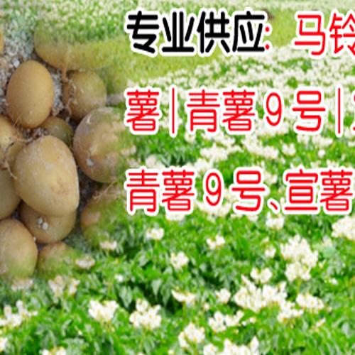 马铃薯丽薯6号信息_微型薯、原种公司