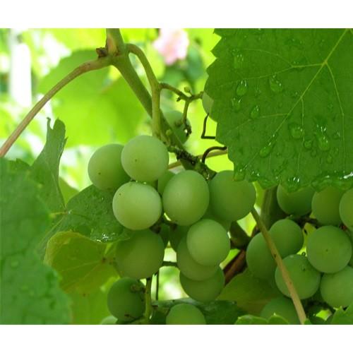 云南葡萄价格多少钱一斤|云南葡萄几月成熟|