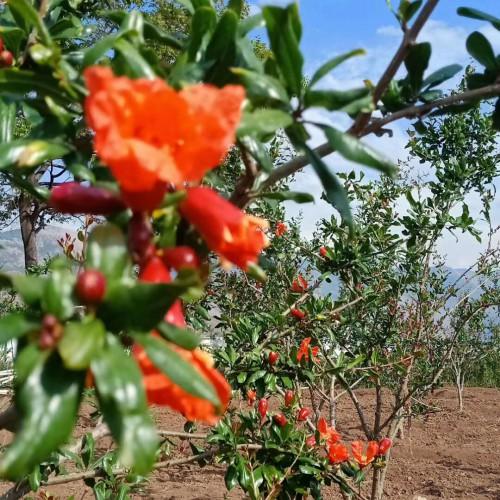 石榴(软籽)种植经济较高的五大品种介绍! 红石榴、黄石榴