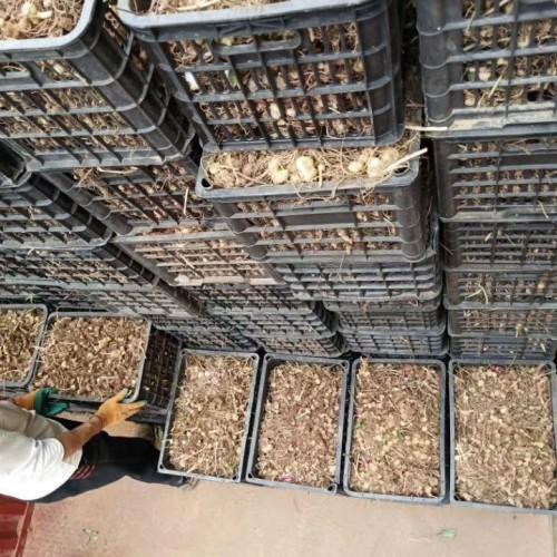 哪里有卖文山黄精种苗 文山黄精苗一棵多少钱