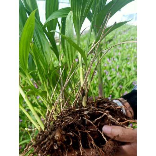 白芨的种苗价格|贵州紫花白芨苗|云南保山市紫花白芨苗