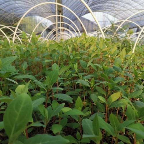 山胡椒种子,种苗,临沧哪里能买到山胡椒绿化苗