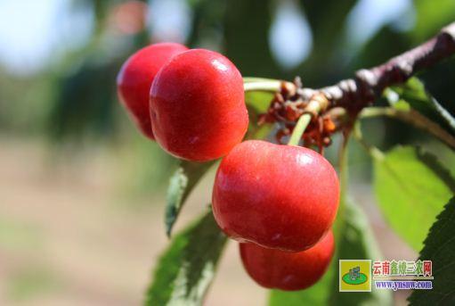 大樱桃种植方法