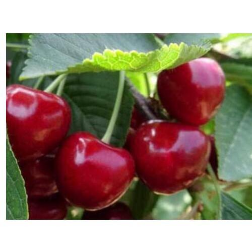 云南矮化大樱桃树产量是多少呢?昆明樱桃树苗是多少价格?
