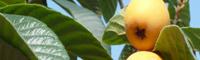 2020年大五星枇杷多少钱一斤?大五星枇杷种植前景