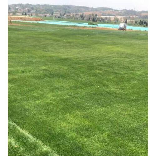 2020年麦冬草草坪(皮)多少钱一平米?麦冬草草坪(皮)种植