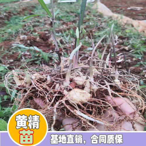 黄精怎样栽种?黄精种植种植技术 黄精种植照片