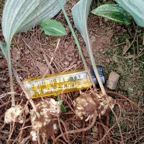 两种黄精苗种子繁育方法_云南黄精中药材种植技术网
