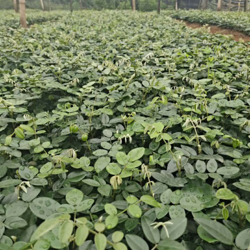 现在2020年山豆根苗多少钱一棵?山豆根苗种植前景