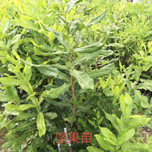 一亩种植多少坚果树苗适合 价格是多少钱一棵?