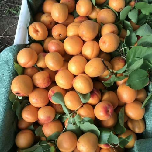 杏子树种植管理与技术_杏子报价行情
