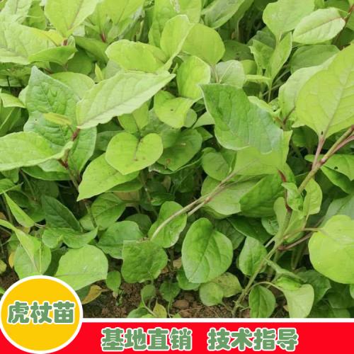 云南虎杖价格 怎么培育种植?一般种植周期多久?