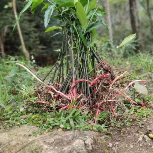 花椒树是有刺的還是没刺的好?如何种植?