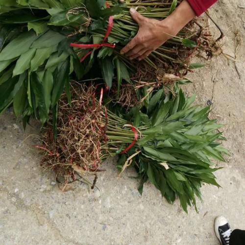 花椒树的种植技术是啥?价格多少钱一棵?