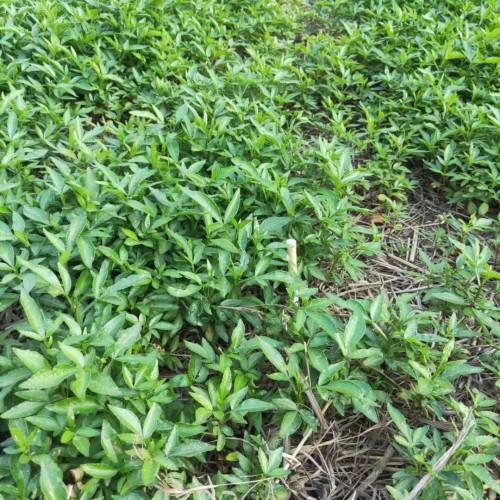 没刺花椒苗价钱要多少钱一棵?一亩地必须是多少?