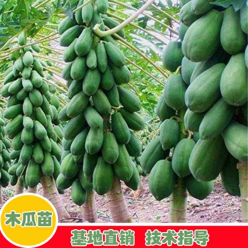 木瓜多少钱一斤?有什么功效和功效?籽可以吃吗?