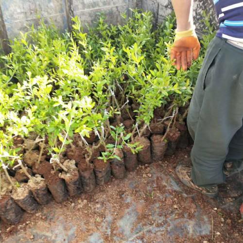 今年 软籽石榴苗木价格怎样?它的籽可以吃吗?种植技术有什么?