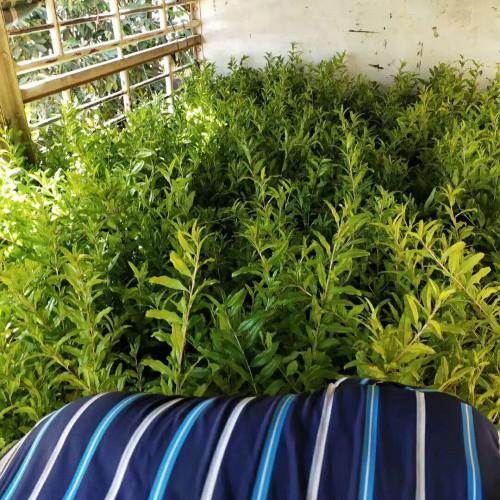 软籽石榴苗价格多少钱一棵?种植技术关键点有什么?