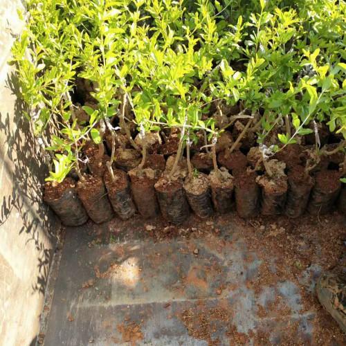 软籽石榴苗木价格是要多少钱一棵?怎样购买?