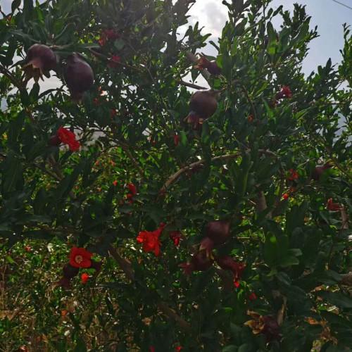 软籽石榴苗木价格一般要多少钱一棵?栽种这两个种类市场前景较好是!