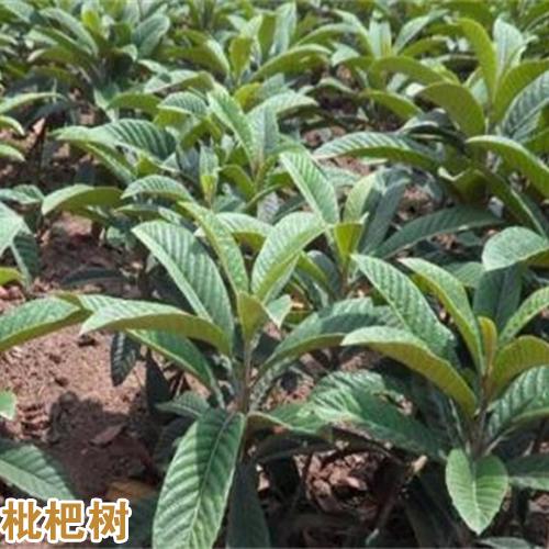 枇杷栽种两年能获得?今年种植赚钱吗?