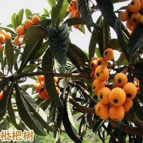 枇杷树能够种在家里吗?栽种枇杷树有哪些要留意?