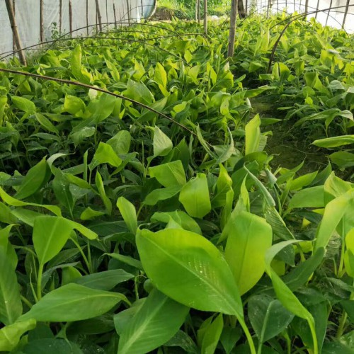一亩地能够栽是多少棵香蕉?何时栽种好?