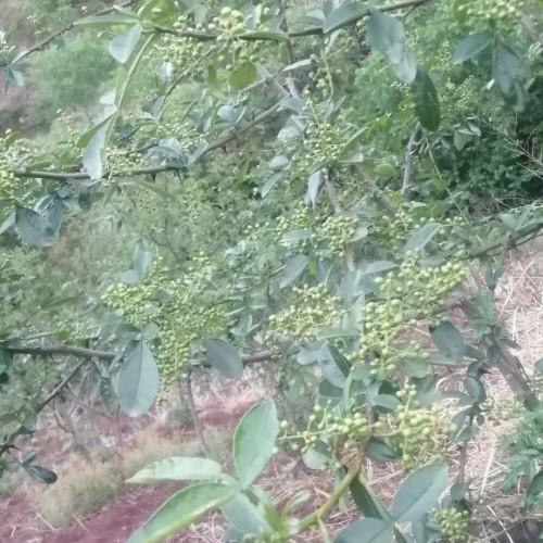 花椒树怎么种?两年能结花椒?一亩地盈利是多少?