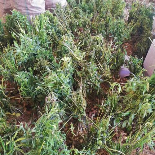黄精种苗多少钱一斤?栽种一亩黄精必须多少斤黄精种苗?