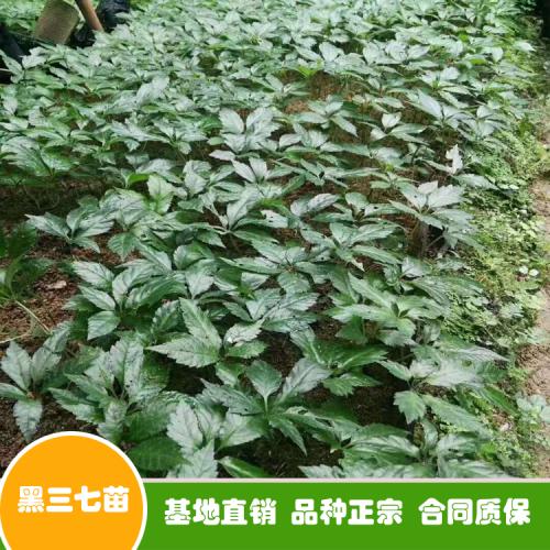 三七種子多少钱一斤?买回去怎么种植好?