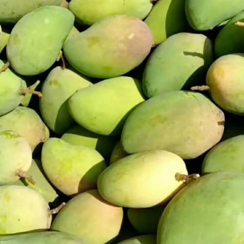 """""""亚热带果王""""芒果树一年结几回果?怎么种才可以长大量的果子?"""
