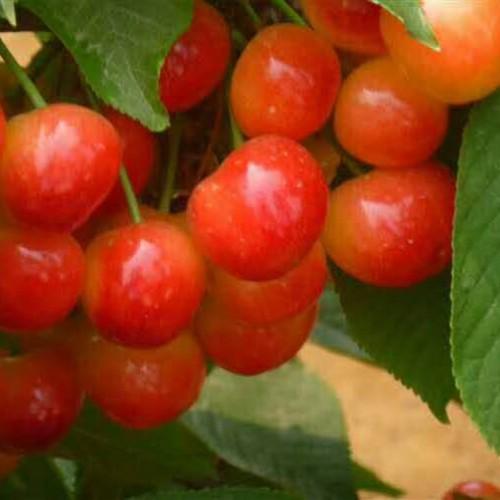 樱桃树一般能活多少年?樱桃树两年才可以結果?