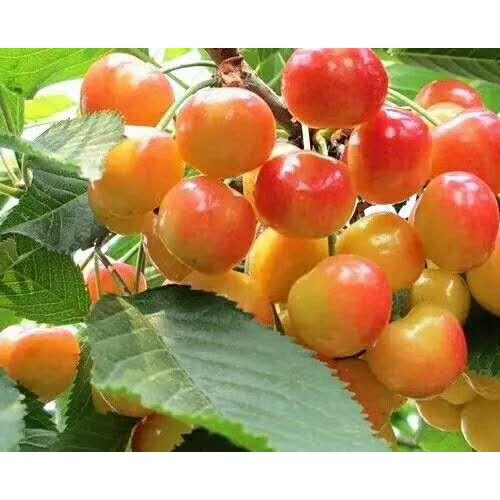樱桃多少钱一斤?17年樱桃栽种市场前景怎样?