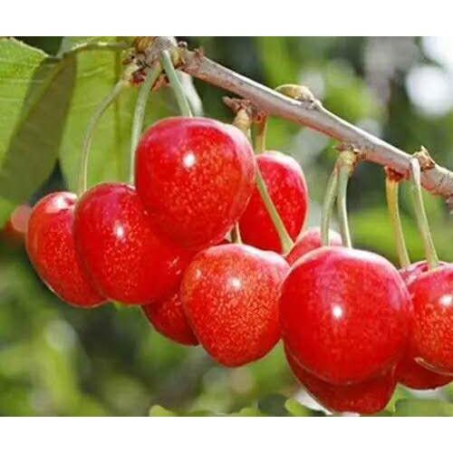 白玉石樱桃多少钱一斤?原产地在哪儿?什么地域合适栽种?