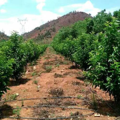 """""""新鲜水果之冠""""樱桃树一年结几回果?一棵能结是多少果子?种两年能够见经济效益?"""