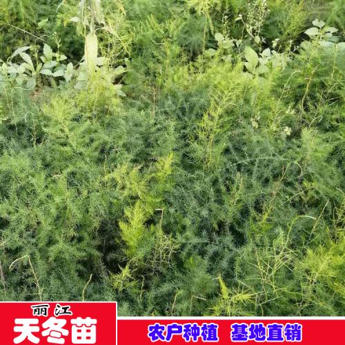 2019天冬最新报价行情走势怎样?